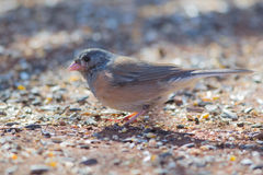 Dark-Eyed Junco (Junco hyemalis) Royalty Free Stock Photos