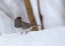 Dark-eyed Junco, Junco hyemalis Stock Image