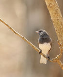 Dark-eyed Junco, Junco hyemalis Royalty Free Stock Photos
