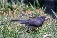 Dark Eyed Junco, Juno hyemalis. Beautiful Darke eyed Junco foraging for food on the ground in a grassy field Stock Image