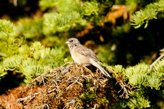 Dark Eyed Junco. Stock Image