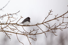 Dark-eyed Junco. Male Dark-eyed Junco in snow storm Royalty Free Stock Photos