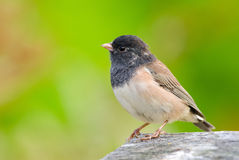 Dark-eyed Junco Royalty Free Stock Photo