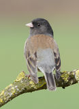 Dark Eyed Junco Stock Photos