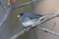 Dark-eyed Junco perched on a branch stock photo
