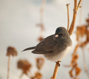 Dark-Eyed Junco perched on a dry flower stalk Stock Photos