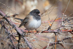 Dark Eyed Junco perched on a Limb. A dark eyed junco perched on a limb in winter afternoon light Stock Image