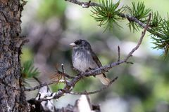Dark Eyed Junco perched in a pine tree Royalty Free Stock Photo