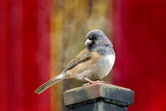 Dark-Eyed Junco Perched on a Pole Stock Photos
