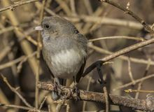 A dark eyed junco perched. A dark eyed junco perched on a tree branch in a rural area stock photo