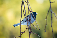 Dark Eyed Junco pirched on hanging branches Stock Photos