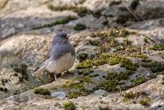 Dark Eyed Junco on a rock royalty free stock photos