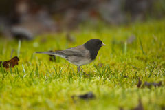 Dark Eyed Junco Scavenging for Food Stock Photography