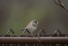 Dark Eyed Junco Scavenging for Food Royalty Free Stock Photo