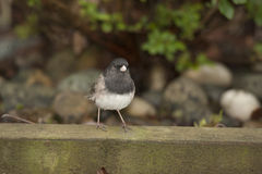 Dark Eyed Junco Scavenging for Food Royalty Free Stock Image