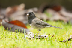 Dark Eyed Junco Scavenging for Food Stock Photo