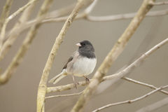 Dark Eyed Junco Scavenging for Food Royalty Free Stock Images