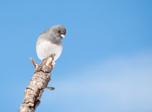 Dark-eyed Junco sitting on a limb. In winter sun against clear blue sky Royalty Free Stock Image