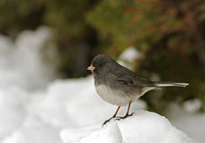 Dark-Eyed Junco Stock Photography