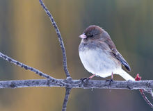 Dark-Eyed Junco. Sitting on a tree branch Royalty Free Stock Image