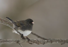 Dark-Eyed Junco Royalty Free Stock Photos