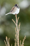 Dark Eyed Junco sitting on tree top Royalty Free Stock Photography