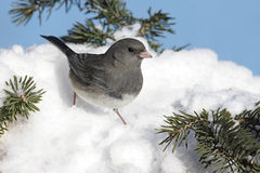 Dark-eyed Junco In Snow Stock Photo