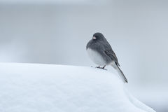 Dark-eyed Junco in the Snow Stock Images