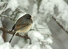Dark Eyed Junco in Snow Storm. Dark Eyed Junco (Junco hyemalis) perched on a snow covered Evergreen during a snow storm in winter stock image