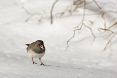 Dark-eyed Junco on Snow Stock Photo