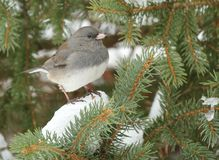 Dark-eyed Junco on snowy evergreen royalty free stock images