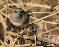 A dark-eyed junco in a stare down. Myself and a dark-eyed junco is a stare down in a rural area Royalty Free Stock Photos
