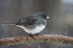 Dark-eyed Junco. A Dark-eyed Junco trying to stay warm during a snow fall Royalty Free Stock Photo