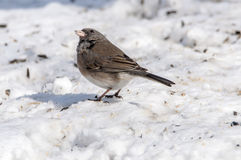 Dark Eyed Junco. A winter visitor, the dark eyed junco checking things overhead Stock Images