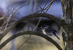 Dark Eyed Junco In Wisconsin royalty free stock photos
