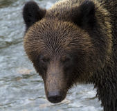 Dark eyes of a grizzly bear. Fierce stare of grizzly bear in British Columbia, Canada, is reflection of beautiful, frightening, natural intensity of a large stock image