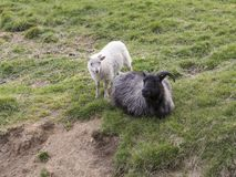 Dark faced Icelandic ewe lying down in grass with white lamb standin. G next to her, southern Iceland Stock Photos