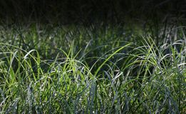 Dark Fade Grass. Conceptual dark fade shot of grass plants Royalty Free Stock Photography