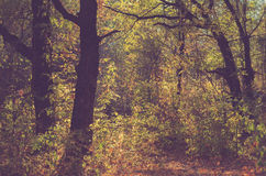 Dark fall forest. Faded forest at autumn time Royalty Free Stock Image