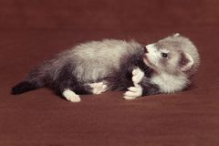 Dark sable young ferret baby laying in studio stock image