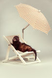 Dark ferret portrait on beach chair in studio. Ferret portrait on beach chair in studio Royalty Free Stock Photo