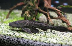 Dark fish in aquarium Stock Photo