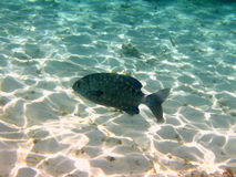 Dark Fish from maldives. A dark fish swimming in the blue ocean of Maldives, near to the coral reef Stock Photos