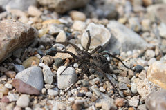 Dark Fishing Spider (Dolomedes tenebrosus) Stock Photo
