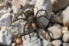 Dark Fishing Spider (Dolomedes tenebrosus) Royalty Free Stock Photos