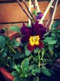 Dark flower. Drak red flower Stock Photography