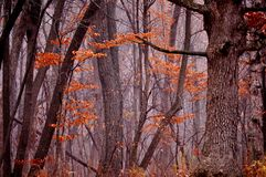Dark foggy forest in autumn. Stock Photography