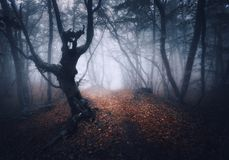 Dark foggy forest. Mystical autumn forest with trail in fog. Old Tree. Beautiful landscape with trees, path, leaves and mist. Nature background. Spooky misty stock photography