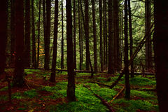 Dark foogy forest Stock Images