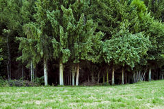 Dark forest. Dense trees in a deep dark forest Royalty Free Stock Photography